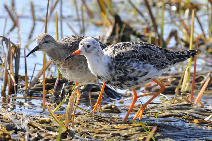 Dolina Biebrzy ma ogromne znaczenie jako lęgowisko dla ptaków związanych ze środowiskiem bagiennym /123RF/PICSEL