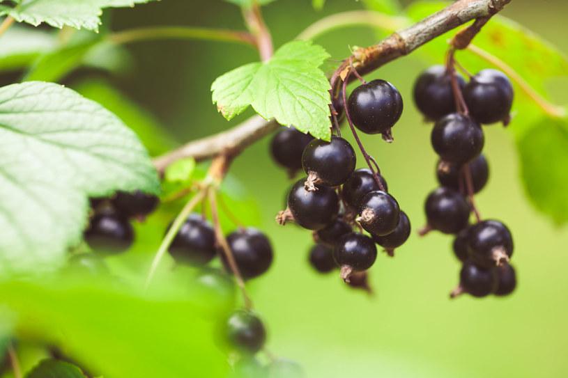 Dorato Blackcurrant stworzone zostało na podstawie oryginalnej receptury z dodatkiem wina z najlepszych polskich czarnych porzeczek /123RF/PICSEL