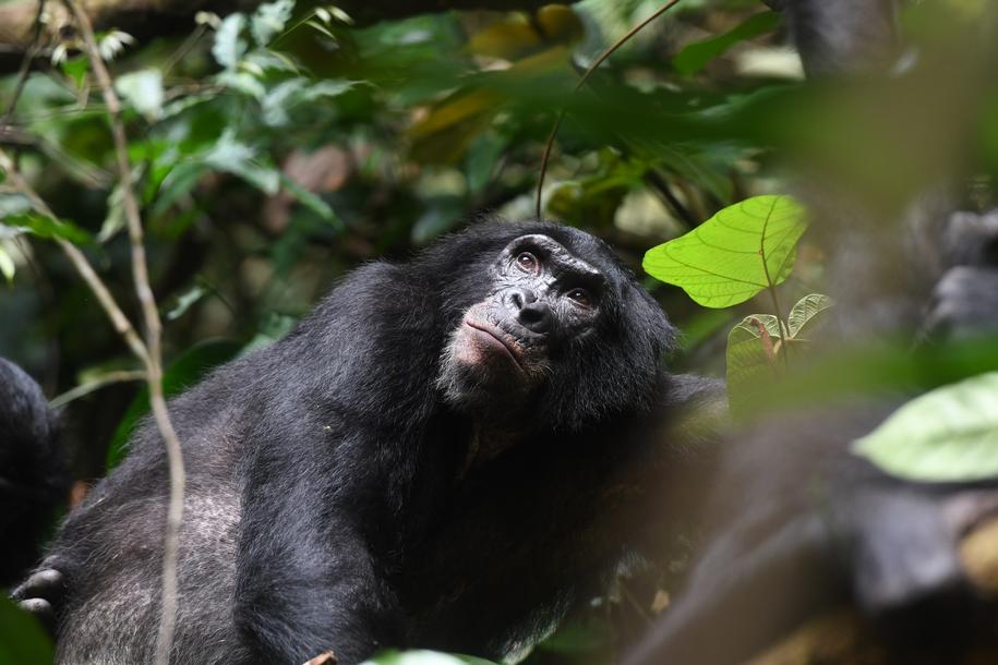 Dorosły samiec bonobo w Kokolopori Bonobo Reserve w Demokratycznej Republice Kongo /© Martin Surbeck, Kokolopori Bonobo Research /Materiały prasowe