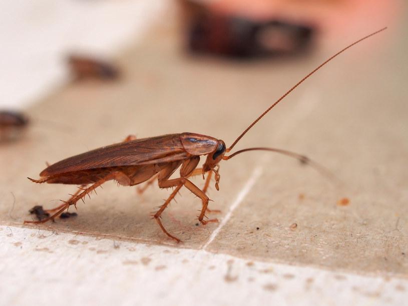Dowiedz się, jak się pozbyć karaluchów i innych nieproszonych gości z domu /123RF/PICSEL