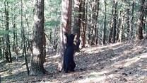 Drapanie czy znaczenie terytorium? Niedźwiedź z pasją ociera się o drzewo