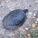 Drapieżny żółw w Wigierskim Parku Narodowym. Jest apel do turystów