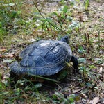 Drapieżny żółw z USA złapany w Wigierskim Parku Narodowym