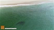 Dron uchwycił rekina przy samej plaży. Dwa dni później doszło do ataku