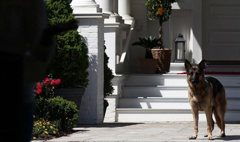 Drugi z psów Joe Bidena o imieniu Champ /AFP