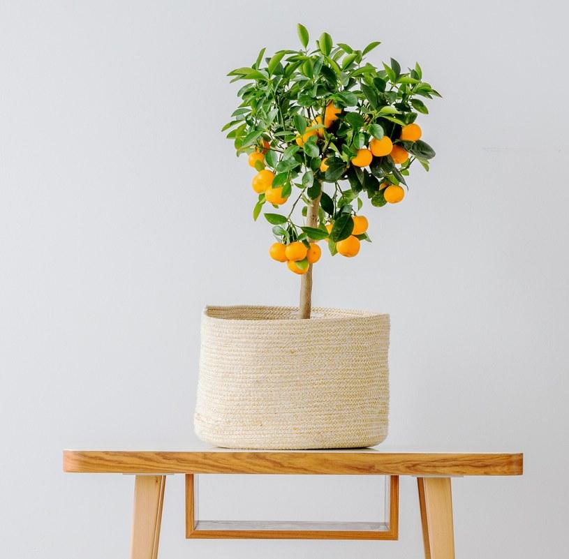 Drzewko pomarańczowe /©123RF/PICSEL