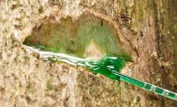 """""""Drzewo, które krwawi"""" - zdjęcia autorstwa: Antony van der Ent /materiały prasowe"""