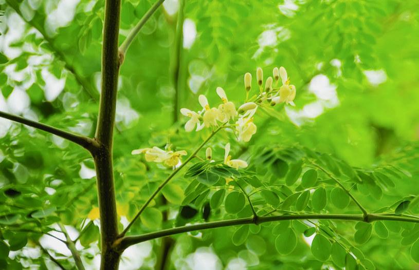 Drzewo moringi /©123RF/PICSEL