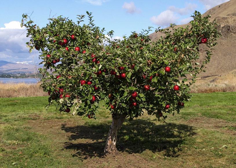Drzewo rodzące jabłka odmiany Cosmic Crisp /materiały prasowe
