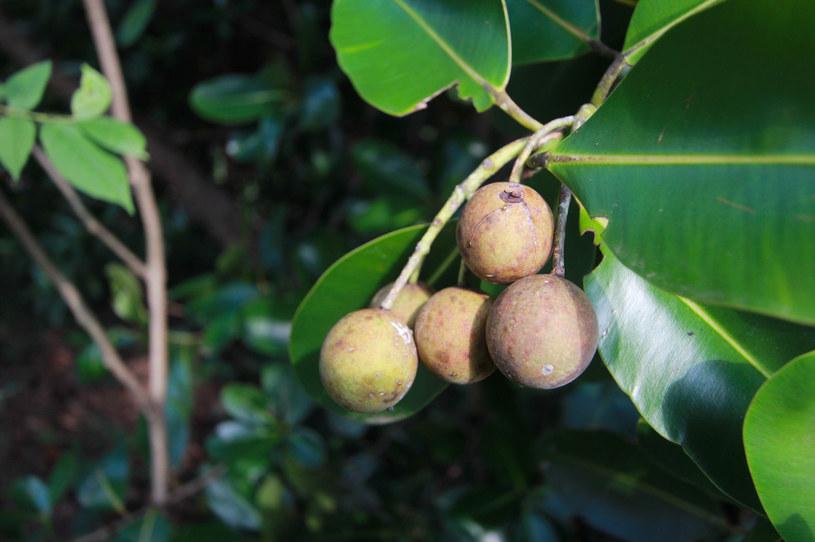"""Drzewo tamanu dawniej było cenione przez Polinezyjczyków, którzy uważali je za """"dar natury"""" /123RF/PICSEL"""