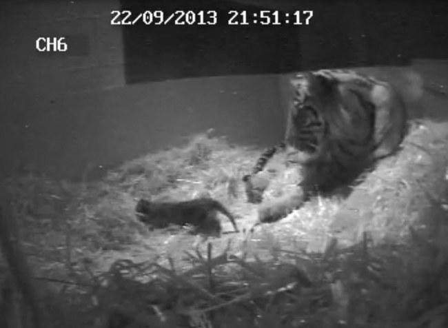 Dumna mama z małym tygrysem. /ZSL London Zoo /PAP/EPA