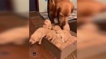 Dumna psia mama dogląda zgrai szczeniaków