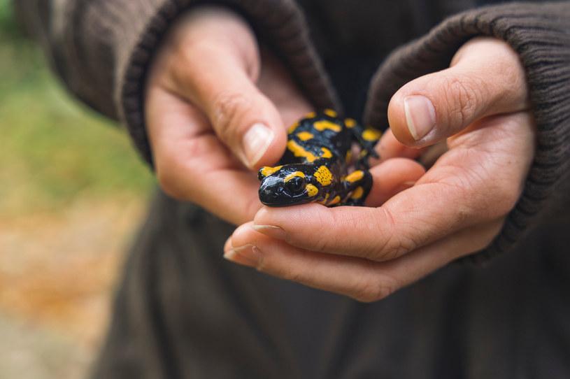 Duże opady deszczu przyspieszyły gody salamandry plamistej /123RF/PICSEL
