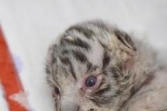Dwa białe tygrysy urodziły się w Borysewie