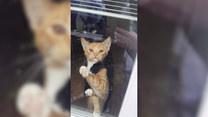 Dwa koty z entuzjazmem witają właściciela