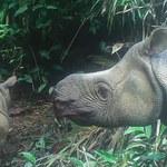 Dwa młode nosorożce jawajskie nadzieją na przetrwanie gatunku