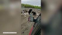 Dwa niedźwiedzie walczyły na wysypisku. Poszło o jedzenie