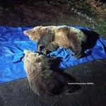 Dwa niedźwiedzie zastrzelone w Tatrach