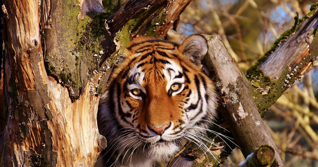 Dwa tygrysy zagryzły opiekuna i uciekły. Zostały zastrzelone