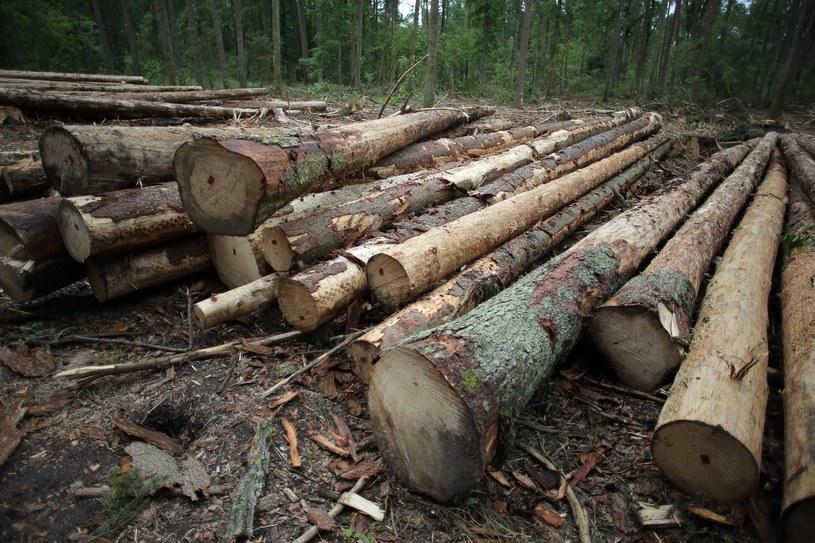Dwie osoby z zarzutami za wycięcie lasu w Łebie /Piotr Mecik /East News