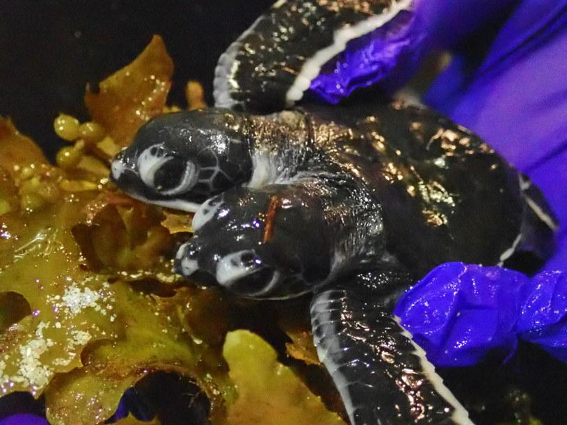 Dwugłowy żółw niestety nie przeżył /Scuba Junkie /PAP/EPA