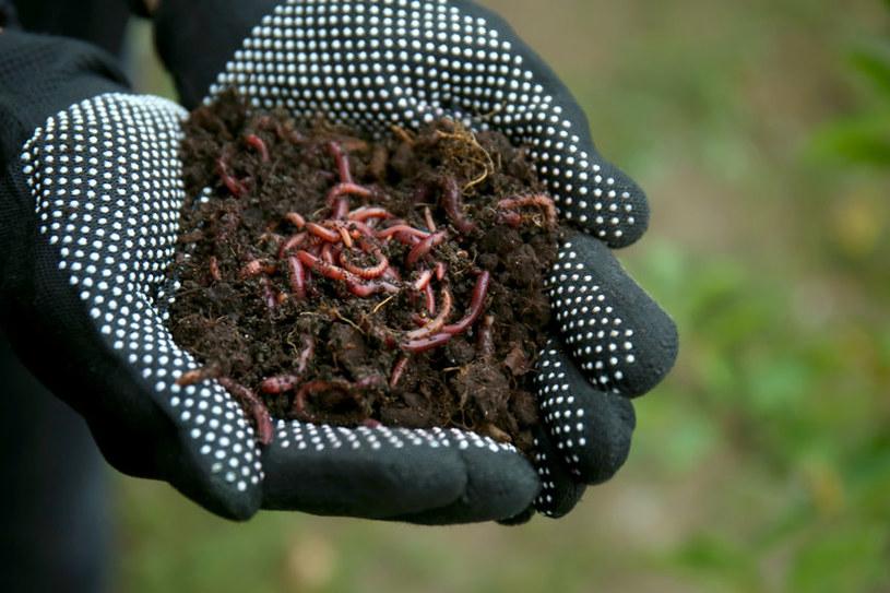 Dżdżownice przetworzą resztki roślin w biohumus /123RF/PICSEL
