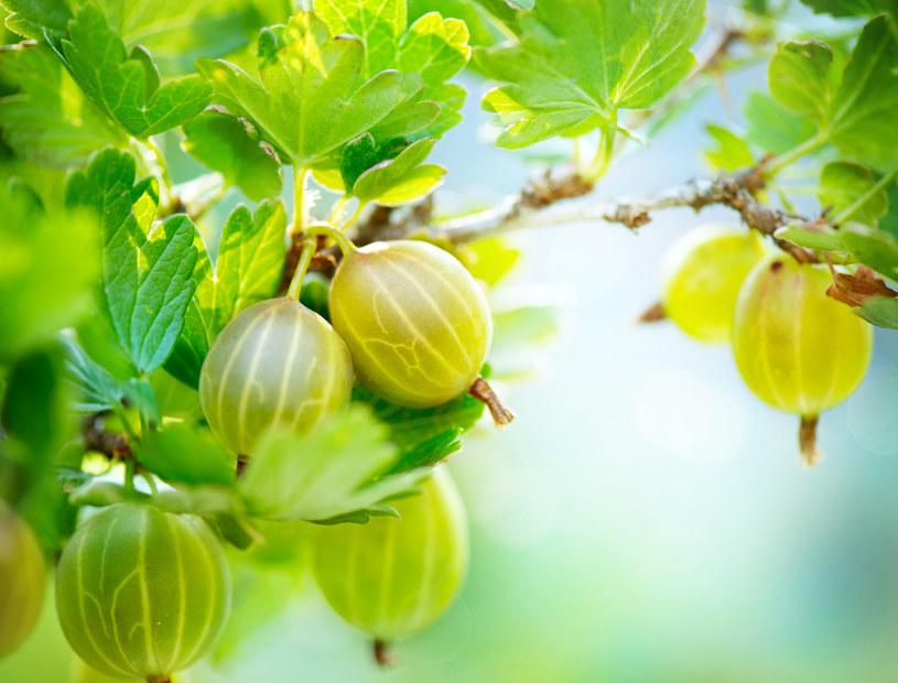 Dżem z agrestu przygotowujemy z nie w pełni dojrzałych owoców