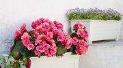 Dzięki nim kwiaty będą piękne bez podlewania!