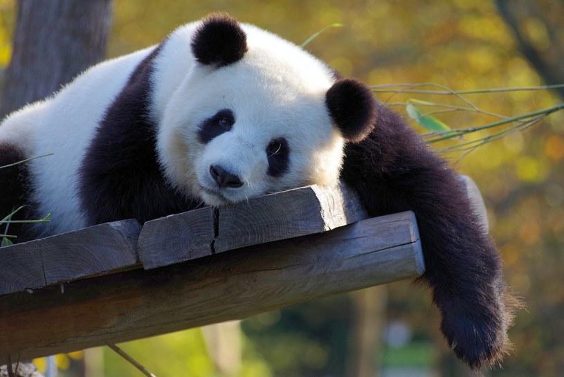 Dzięki pandom Chiny od lat ocieplają swój wizerunek, ale przed COP26 łatwych trików propagandowych raczej nie będzie /pixabay.com