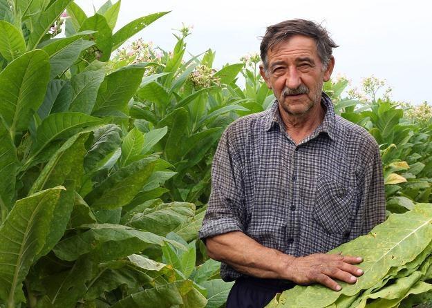 Dzięki unijnym dopłatom, produkcja tytoniu była opłacalna /©123RF/PICSEL