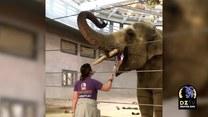 Dzielny słoń odbywa wizytę dentystyczną