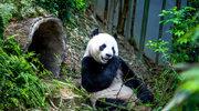 Dzień Pandy, symbolu zagrożonych gatunków