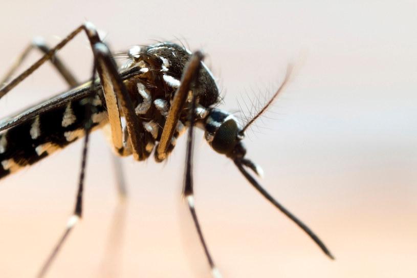 Dziesięciomilimetrowe azjatyckie komary tygrysie były już wcześniej zauważane na zachodzie Niemiec. Ich ukąszenie może być fatalne w skutkach w przypadku spełnienia pewnych warunków /123RF/PICSEL