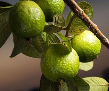 Dziewięć zaskakujących właściwości herbaty z liści gujawy