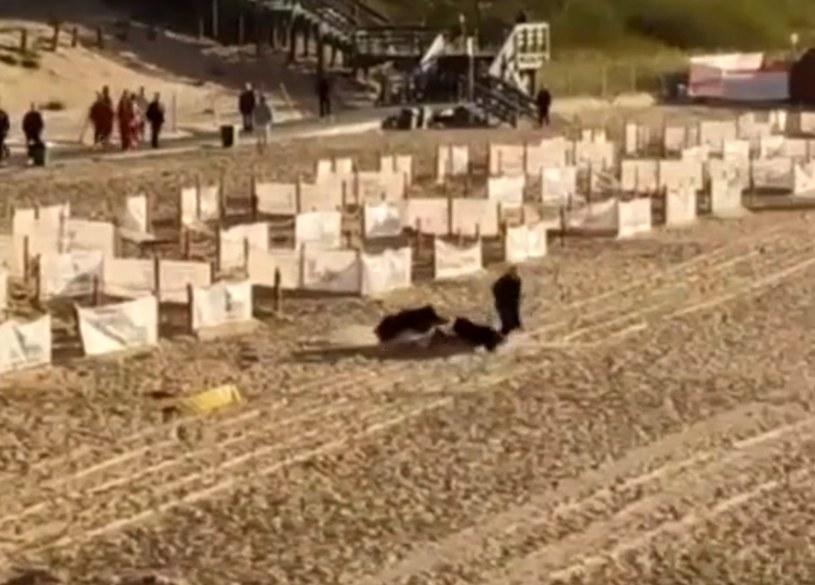 Dzik na plaży w Międzyzdrojach, kadr z nagrania pana Dariusza /Polsat News