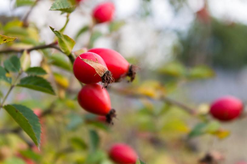 Dziką różę można zebrać  już we wrześniu /123RF/PICSEL