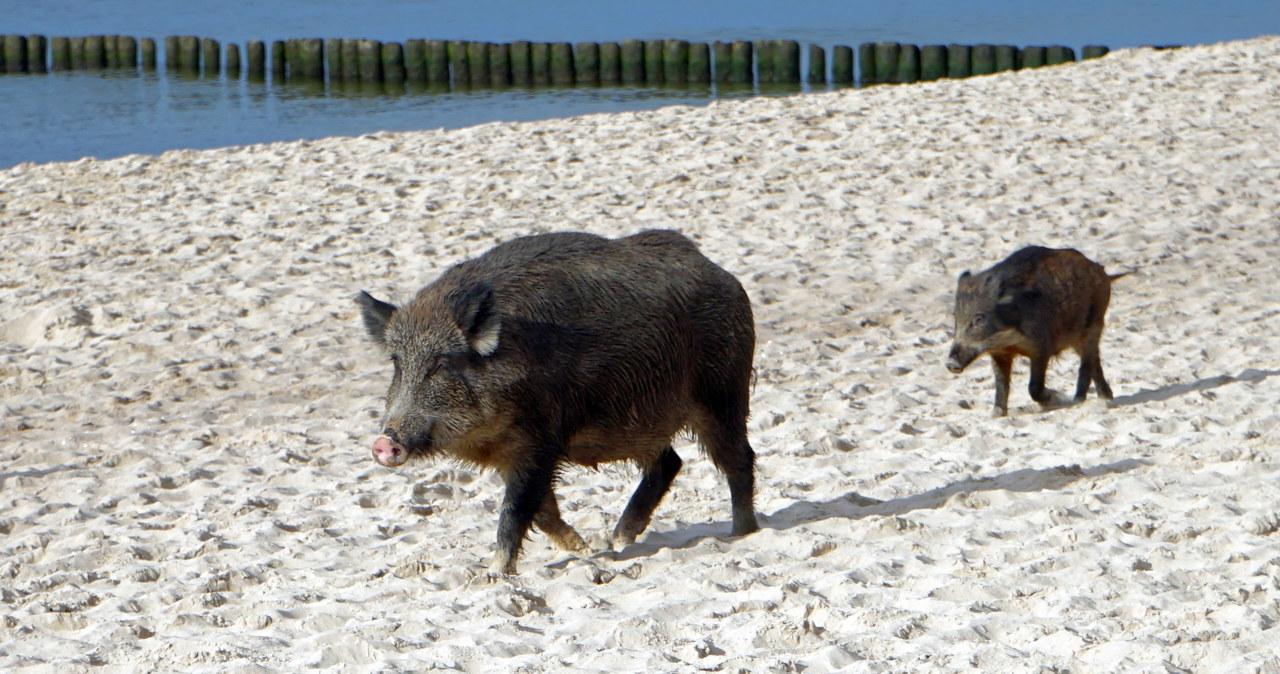 Dziki na plaży w Międzyzdrojach