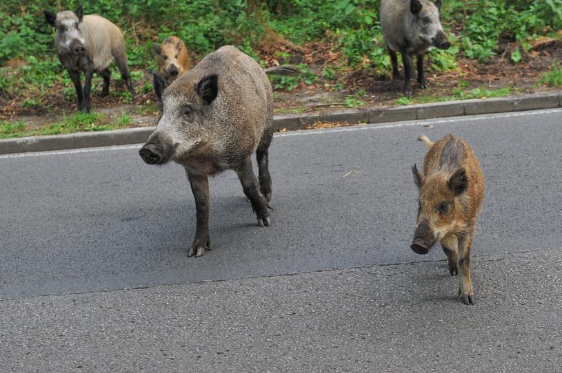 Dziki na ulicy, zdjęcie ilustracyjne /East News