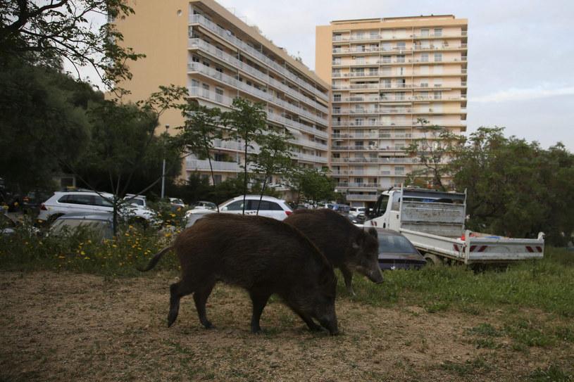 Dziki w pobliżu dużego osiedla na Korsyce /PASCAL POCHARD-CASABIANCA / AFP /East News