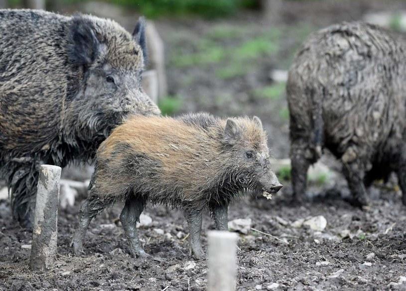 Dziki, zdjęcie ilustracyjne /JEAN CHRISTOPHE VERHAEGEN /AFP