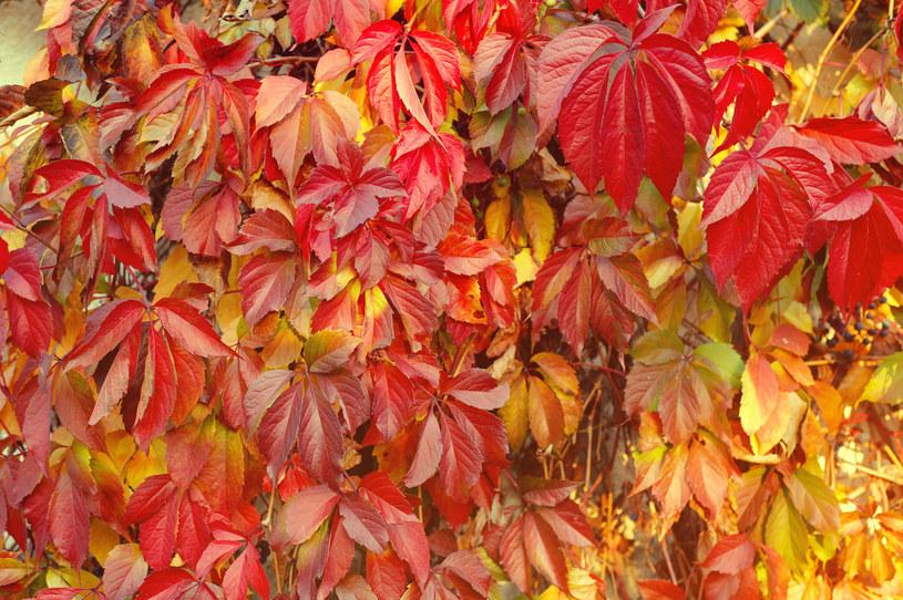 Dzikie wino rośnie bardzo gęsto. Zwraca na siebie uwagę pięknymi, jesiennymi barwami /123RF/PICSEL