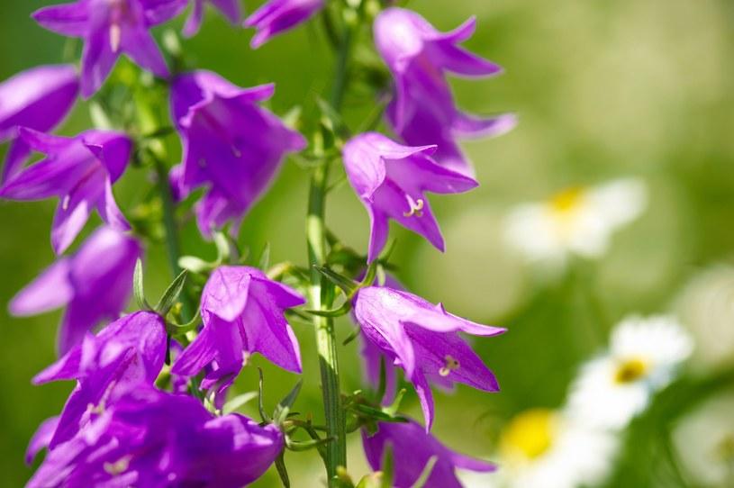 Dzwonki to także doskonałe kwiaty do ogrodu /123RF/PICSEL