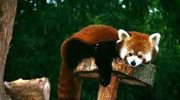 Efekt motyla i panda mała