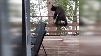 Efektowna ucieczka z posesji młodego niedźwiadka