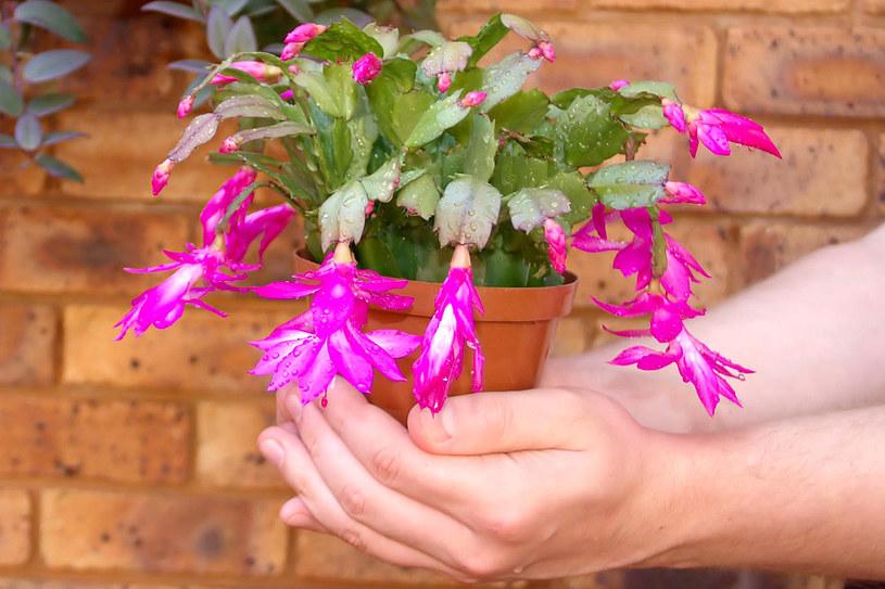 Efektowny kwiat będzie cieszył oko przez całe święta /123RF/PICSEL