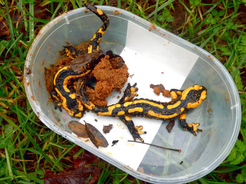 Eksperci przestrzegają przed dotykaniem salamandry plamistej /123RF/PICSEL