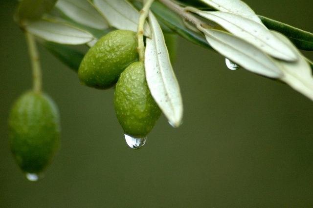 ekstrakt z liści oliwnych /© Photogenica