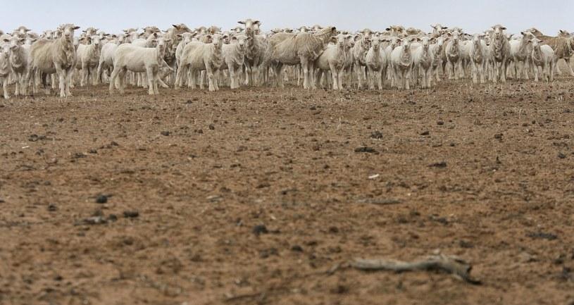 El Nino może powodować m.in. susze w Australii /AFP