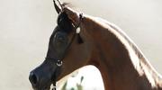 El Rey Magnum: Najpiękniejszy koń na świecie?