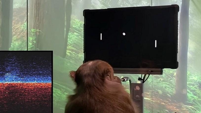 Elon Musk pokazał małpę z chipem w mózgu i grającą w Ponga. Nowe wieści od Neuralink /Geekweek